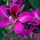 Orchid Flowers of the Bauhinia Purpurea Tree by Kerryn Madsen-Pietsch