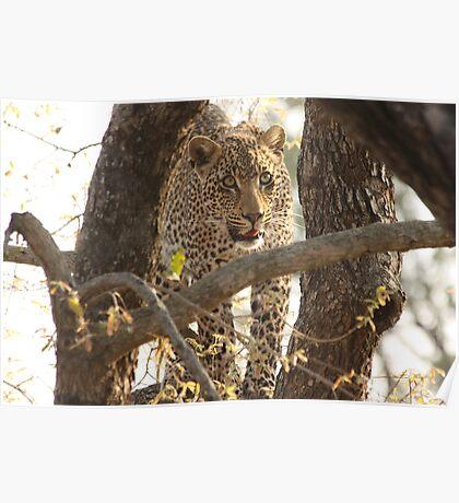 Londolozi Leopard Boy Poster