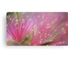 Pink Fluff - bottlebrush flower Canvas Print