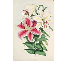 A Monograph of the Genus Lilium Henry John Elwes Illustrations W H Fitch 1880 0043 Photographic Print