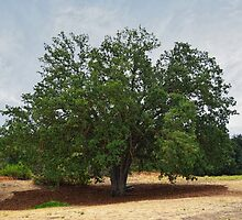 California Oak Tree At Paramount Ranch by Glenn McCarthy