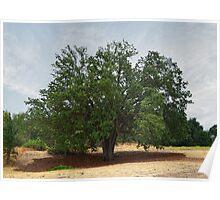 """""""California Oak Tree At Paramount Ranch"""" Poster"""