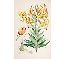 A Monograph of the Genus Lilium Henry John Elwes Illustrations W H Fitch 1880 0115 Photographic Print