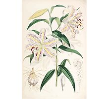 A Monograph of the Genus Lilium Henry John Elwes Illustrations W H Fitch 1880 0167 Photographic Print