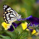 Pansy Butterfly by Kristina K
