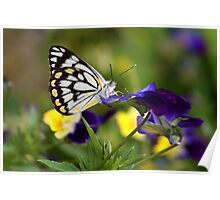 Pansy Butterfly Poster