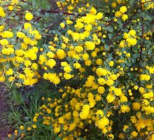 Pretty Wattle on a Bush by Elaine Teague
