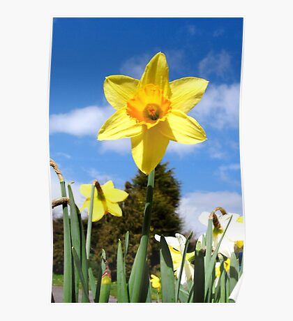Spring Daffodils Poster