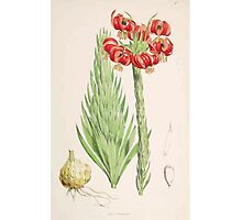 A Monograph of the Genus Lilium Henry John Elwes Illustrations W H Fitch 1880 0093 Photographic Print