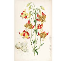 A Monograph of the Genus Lilium Henry John Elwes Illustrations W H Fitch 1880 0215 Photographic Print