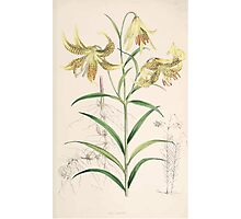 A Monograph of the Genus Lilium Henry John Elwes Illustrations W H Fitch 1880 0119 Photographic Print