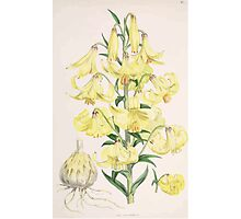 A Monograph of the Genus Lilium Henry John Elwes Illustrations W H Fitch 1880 0101 Photographic Print