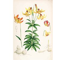 A Monograph of the Genus Lilium Henry John Elwes Illustrations W H Fitch 1880 0163 Photographic Print