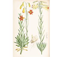 A Monograph of the Genus Lilium Henry John Elwes Illustrations W H Fitch 1880 0209 Photographic Print