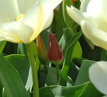 Red and White Tulips by Chris L Smith