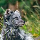 The Arctic fox by Darren Wilkes