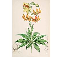 A Monograph of the Genus Lilium Henry John Elwes Illustrations W H Fitch 1880 0035 Photographic Print