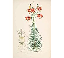 A Monograph of the Genus Lilium Henry John Elwes Illustrations W H Fitch 1880 0039 Photographic Print
