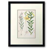 A Monograph of the Genus Lilium Henry John Elwes Illustrations W H Fitch 1880 0203 Framed Print