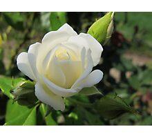 Whipped Cream Rose Photographic Print