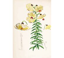 A Monograph of the Genus Lilium Henry John Elwes Illustrations W H Fitch 1880 0103 Photographic Print