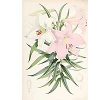 A Monograph of the Genus Lilium Henry John Elwes Illustrations W H Fitch 1880 0107 Photographic Print