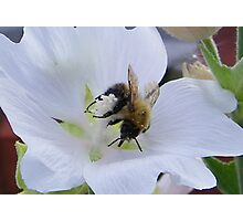 Busy Bee 3 Photographic Print