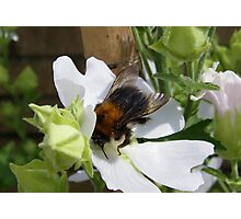 Busy Bee 2 Photographic Print