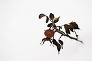Rose hip by Toni Holopainen