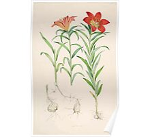 A Monograph of the Genus Lilium Henry John Elwes Illustrations W H Fitch 1880 0073 Poster