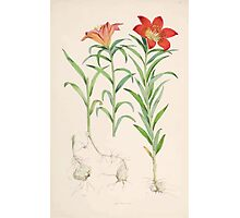 A Monograph of the Genus Lilium Henry John Elwes Illustrations W H Fitch 1880 0073 Photographic Print