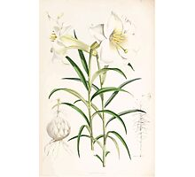 A Monograph of the Genus Lilium Henry John Elwes Illustrations W H Fitch 1880 0191 Photographic Print