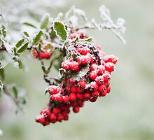 Pyracantha Berries and Hoar Frost by kernuak