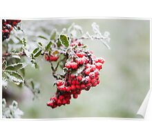 Pyracantha Berries and Hoar Frost Poster