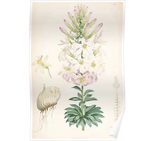 A Monograph of the Genus Lilium Henry John Elwes Illustrations W H Fitch 1880 0185 Poster