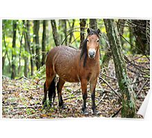 Fox - Grayson Highlands filly Poster