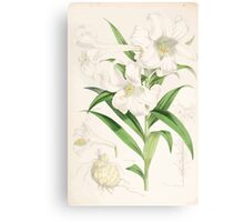 A Monograph of the Genus Lilium Henry John Elwes Illustrations W H Fitch 1880 0143 Canvas Print