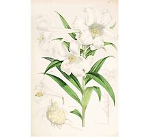 A Monograph of the Genus Lilium Henry John Elwes Illustrations W H Fitch 1880 0143 Photographic Print