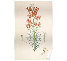 A Monograph of the Genus Lilium Henry John Elwes Illustrations W H Fitch 1880 0089 Poster