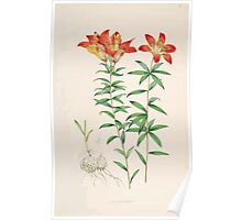 A Monograph of the Genus Lilium Henry John Elwes Illustrations W H Fitch 1880 0069 Poster