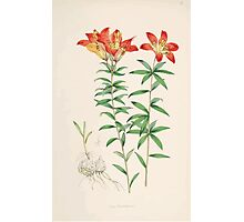A Monograph of the Genus Lilium Henry John Elwes Illustrations W H Fitch 1880 0069 Photographic Print
