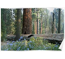 Fallen giant, Sequoia National Park, California Poster