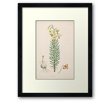 A Monograph of the Genus Lilium Henry John Elwes Illustrations W H Fitch 1880 0047 Framed Print