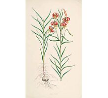 A Monograph of the Genus Lilium Henry John Elwes Illustrations W H Fitch 1880 0123 Photographic Print