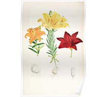 A Monograph of the Genus Lilium Henry John Elwes Illustrations W H Fitch 1880 0173 Poster