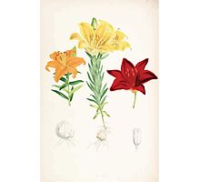 A Monograph of the Genus Lilium Henry John Elwes Illustrations W H Fitch 1880 0173 Photographic Print