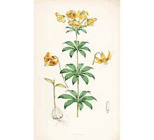 A Monograph of the Genus Lilium Henry John Elwes Illustrations W H Fitch 1880 0155 Photographic Print
