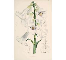 A Monograph of the Genus Lilium Henry John Elwes Illustrations W H Fitch 1880 0065 Photographic Print