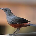 Mocking cliff-chat female by jozi1