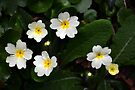 Polyanthus........ by lynn carter
